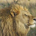 lion-515028_1920