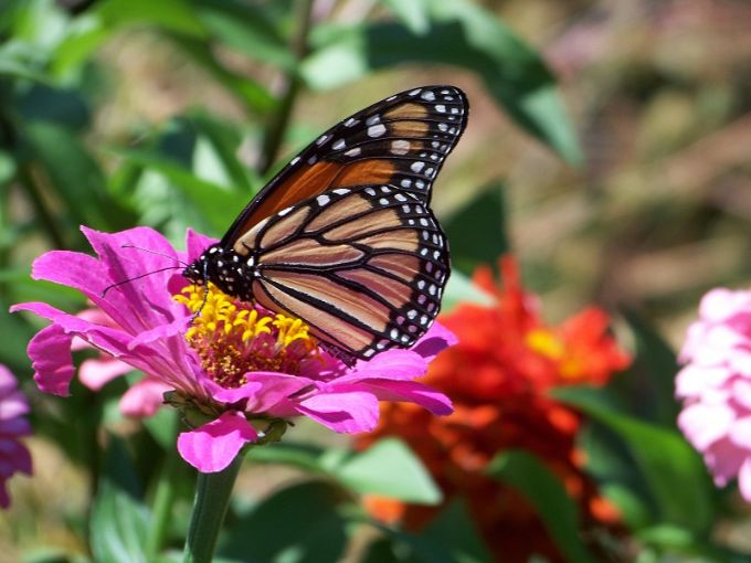 monarch_in_butterfly_garden_august_20
